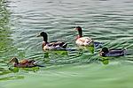 Ducks in a green pond, Irvine CA.