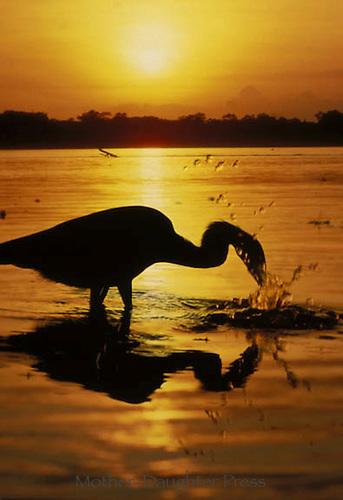 Heron fishing on gulf coast at sunset