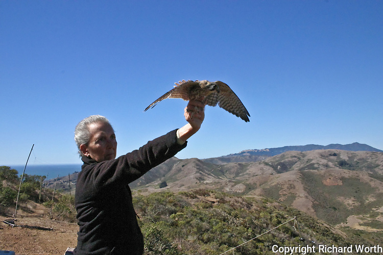 GGRO volunteer Ann Rugger prepares to release an American Kestrel that was captured, weighed, measured and banded.