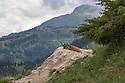 Alpine marmot (Marmota marmota) at burrow entrance with mountain landscape in background. 1700 metres, Nordtirol, Austrian Alps. June.