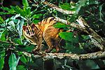 Banded Palm Civet, Sarawak, Borneo, Malaysia