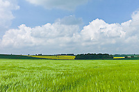 Barley crop in landscape at Asthall, The Cotswolds, Oxfordshire, UK