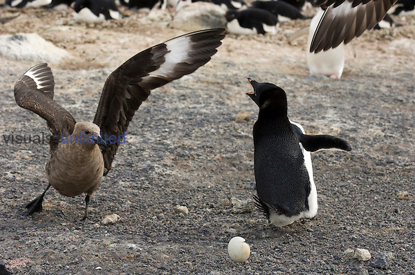 Adelie Penguin (Pygoscelis adeliae) fiercely defends egg from South Polar Skuas (Stercorarius maccormicki).