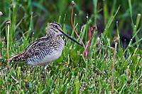 Common Snipes