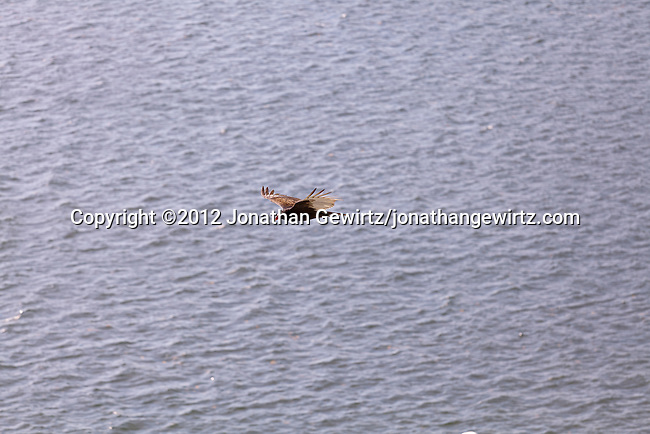 A Turkey Vulture (Cathartes aura) in flight over water, Florida.