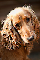 Cocker Spaniel Dog - 2013