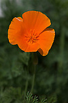 California Poppy, Eschscholzia californica, at Rose Emporium Gardens near Indpendence, Texas.