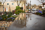 After a spring rain shower, flowers reflect in a puddle in downtown Los Altos, CA.