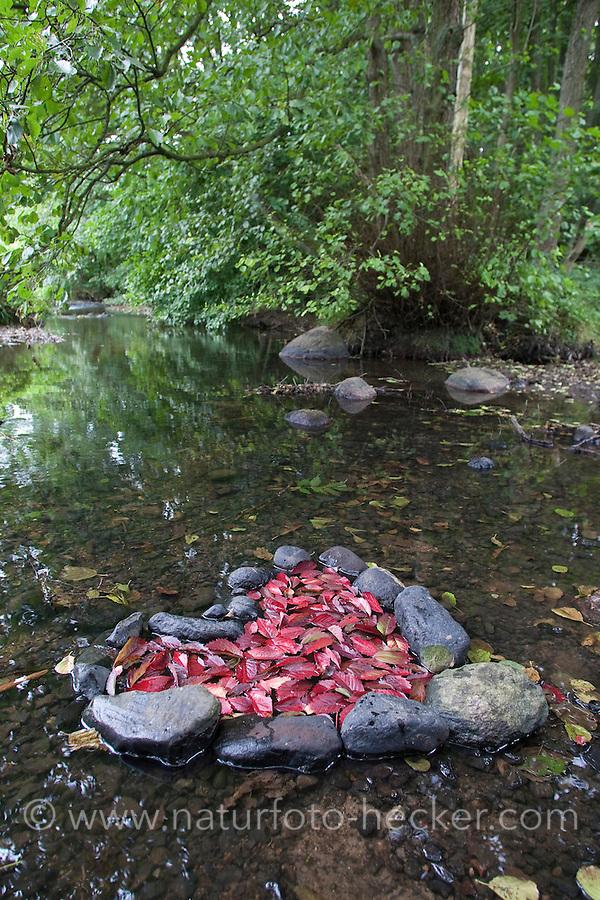 Naturkunst, Natur-Kunst, Kinder legen ein Herz aus Steinen gefüllt mit rotem Laub in einem Bach, Blatt, Blätter, landart