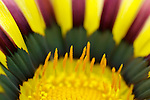 close-up of a gazania flower - commercial/editorial licensing for this image is available through: http://www.gettyimages.com/detail/200457425-001/Stone