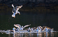 Herring  gulls at Lauvsnes, Norway