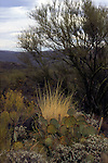 North America, USA, Arizona, Tucson. Saguaro National Park (East). Prickly Pear Cactus.