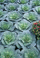 Rows of Ornamental Cabbages Brassica with Chrysanthemums in autumn fall