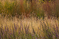 Bouteloua gracilis (blue grama grass) flowering behind Liatris punctata (gayfeather) in Porter Plains Garden meadow at Denver Botanic Garden in front of Schizachyrium virgatum (swithchgrass)
