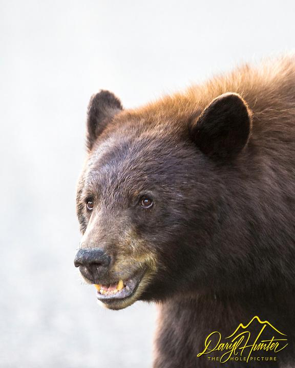 Cinnamon Black Bear, Grand Teton National Park