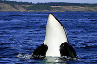 Killer Whale (Orcinus orca) spyhopping in Haro Strait<br /> off the San Juan Islands,<br /> Washington,  U.S.A.