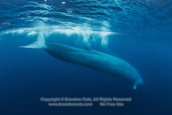 TC0079-D. Blue Whale (Balaenoptera musculus) diving down to feed. Historically, some grew to 110 feet long and 200 tons. Today, 85 feet and 100 tons is considered huge. Blue whales were hunted close to extinction until granted protection in the 1960s by which time some 400,000 had been killed. Some populations  (e.g. the Antarctic stock) may never recover. The California subpopulation (est. 2,200), however, has nearly recovered to pre-whaling levels. Estimated worldwide population today is 15,000 to 20,000 whales. Pacific Ocean.<br /> Photo Copyright &copy; Brandon Cole. All rights reserved worldwide.  www.brandoncole.com