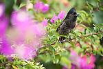Rakiraki, Viti Levu, Fiji; a Red-vented Bulbul (Pycnonotus cafer) bird sitting on a Bougainvillea branch