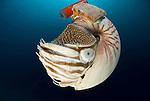 Chambered nautilus with radio transmitter - nautilus pompilius