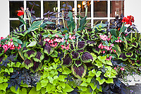 Windowbox container mixture of Ipomoea Sweet Potato Vine Marguerita, Coleus solenostemon Kong, wax beonia, dwarf canna, Ipomoea Blackie, foliage and flower annual plants in window pot of house