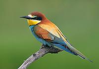 European Bee-eater (Merops apiaster) Pusztaszer Nature Reserve, Hungary