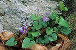 Violets (Viola sp.), spring, Eno River State Park, North Carolina