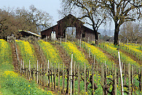 Rustic barn in CA vineyard in spring with yellow mustard