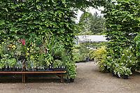 Entrance to Digging Dog Nursery, display shelves backed by Hornbeam hedge (Carpinus betulus)