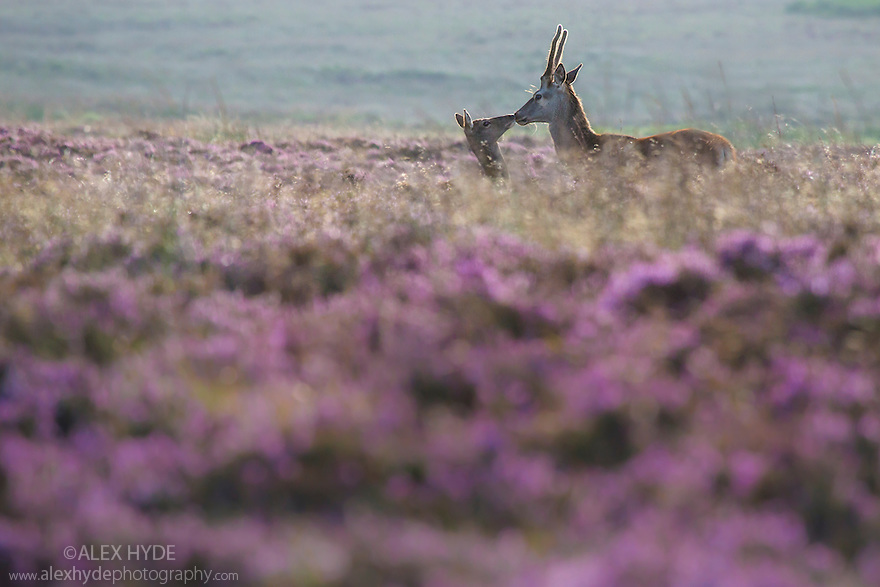 Red Deer {Cervus elaphus} on heather moorland, Peak District National Park, Derbyshire, UK. August.