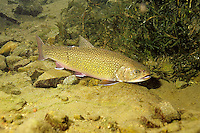 Brook Trout Underwater