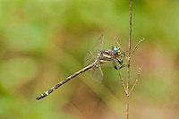 390030010 wild male arrowhead spiketail dragonfly cordulegaster obliqua perched  on small twig sam houston national forest san jacinto county texas