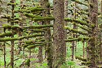 Moss covered branches in the temperate coastal rainforest of Kodiak Island, Alaska.