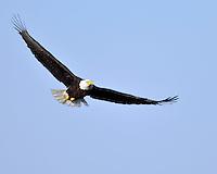 Bald Eagle in flight, Llano, TX