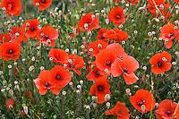 Poppy field, Cotswolds, United Kingdom