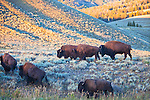 Bison graze in the Lamar Valley in Yellowstone National Park.