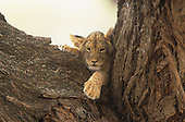 An African Lion cub resting in a tree (Panthera leo), Samburu Game Reserve, Kenya, Africa.
