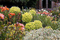 Cottage garden with yellow, charteuse flower bracts of drought tolerant perennial Mediterranean Spurge, Euphorbia characias wulfenii and Rose 'The Edwardian Lady' (left).