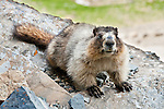 "The hoary marmot (Marmota caligata) is the largest North American ground squirrel and is often nicknamed ""the whistler"" for its high-pitched warning issued to alert other members of the colony to possible danger. Hike the Garden Wall trail from Logan Pass in Glacier National Park, Montana, USA."