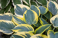 Hosta First Frost 2010 Hosta of the Year, variegated blue with cream edges