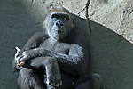 Daydreaming Gorilla.