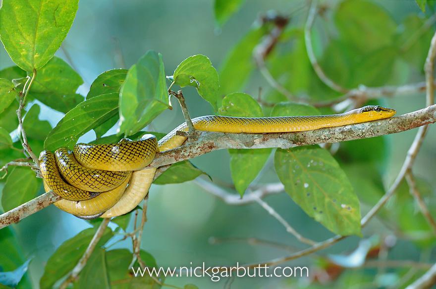 Red-tailed Rat Snake (Gonyosoma oxycephalum) climbing in branches overhanging the Menanggol River, Sukau, Sabah, Borneo