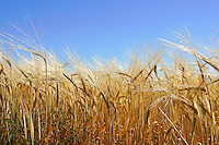 Barley crop.<br />