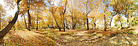 Autumn scenery of deep wood photography with golden yellow color setting taken in Xinjiang Province, China. Nature fine art photography by Paul Chong.
