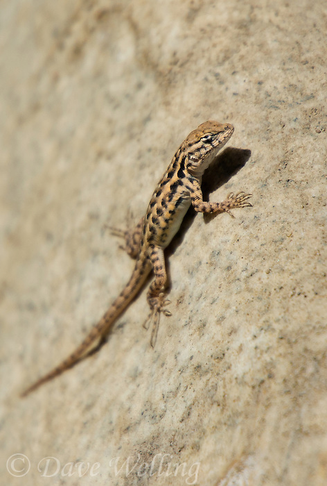 U S Lizard the western sid...