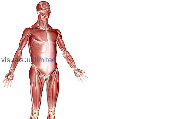 An anterolateral view (right side) of the muscles of the upper body. Royalty Free