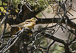 Female black-headed grosbeak, Pheucticus melanocephalus. Wildrose Canyon, Death Valley National Park, California