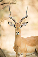 Impala, Luangwa River Valley, Zambia, Africa, Safari.