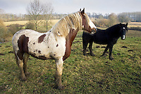 Horses in a muddy paddock, Gloucestershire, United Kingdom