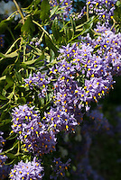 Chilean Potato Vine Solanum crispum 'Glasnevin' in lavender purple flower
