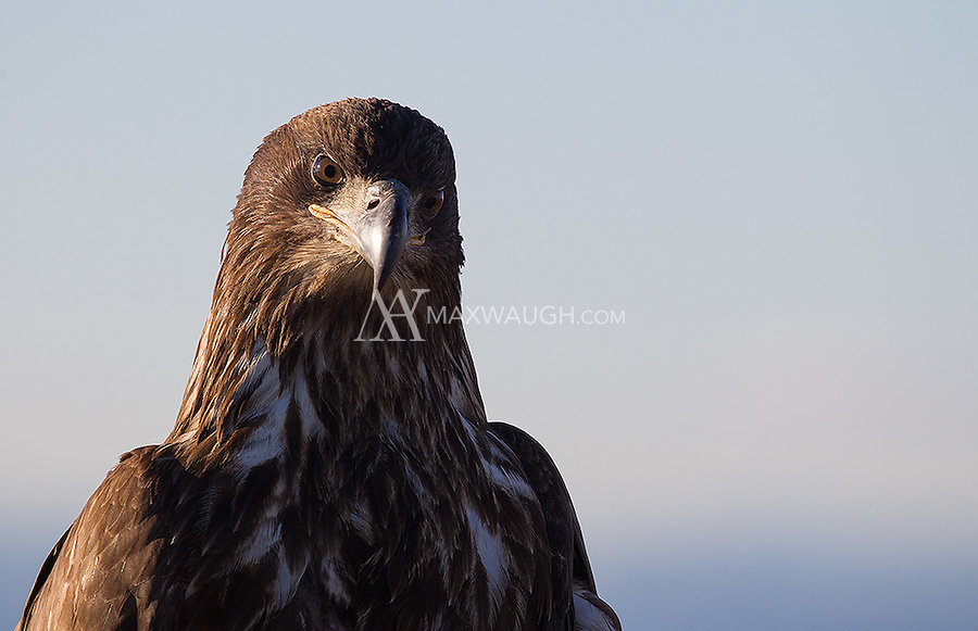 This juvenile Bald eagle was perched at the top of a viewing tower, and didn't fly off right away, allowing us to snag some close-ups.